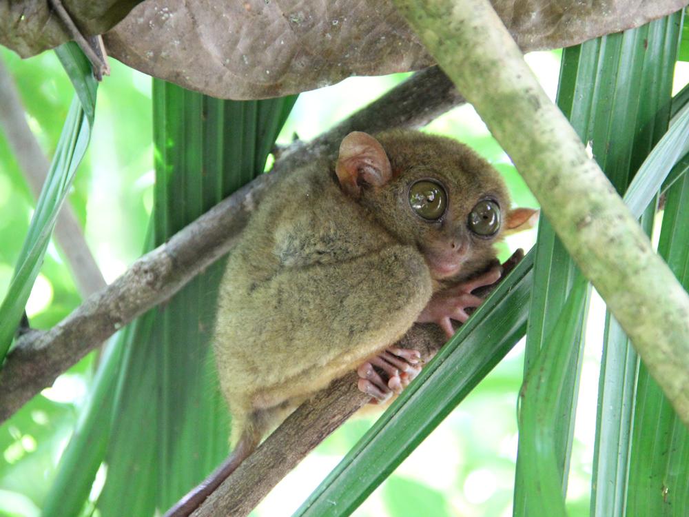 Bohol tarsier, Wandering Weekend Warrior, Weekender #26